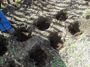 Фото удобрения почвы для посадки малины, orchardo.ru