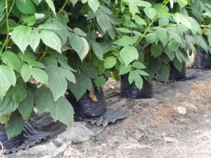 На фото - выращивание малины в пластиковых емкостях, agrihelp.info