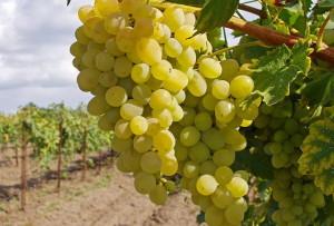 Фото урожайности привитого винограда, zamay.org