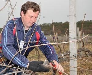 На фото - обрезание лишних побегов винограда, sevnovosti.ru