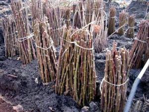 На фото - черенки винограда, ogorodsadovod.com