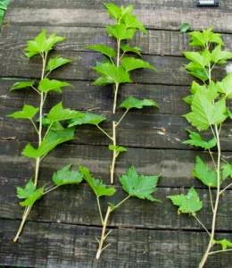 На фото - зеленые чубуки винограда, ludmilagundrova.blogspot.com