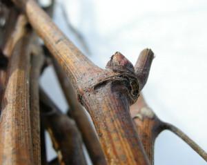 Фото выбора лозы винограда для заготовки чубуков, zengarden.in.ua