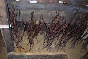 На фото - черенки из лозы винограда в ящике с песком, vinograd-is.ru