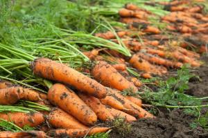 Фото сбора урожая моркови, 7dach.ru