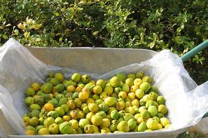 Фото сбора урожая айвы, podmoskovje.com
