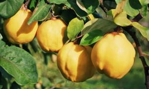 На фото - крупные плоды айвы, syl.ru