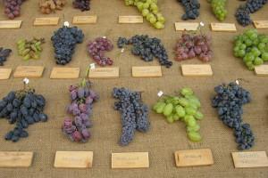 Фото изысканных сортов винограда, globalalco.ru