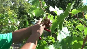 На фото - чеканка годовалого винограда, youtube.com