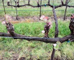 Фото обрезки сухих веток винограда летом, forum.vinograd.info