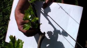 На фото - обламывание лишних побегов винограда, youtube.com