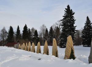 Фото укрытия хвойных на зиму, zelensad.com