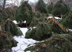 На фото - укрытие хвойных растений на зиму еловыми ветками, drevo-spas.ru