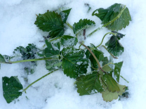 Фото клубники под снежным покровом, vm.ru