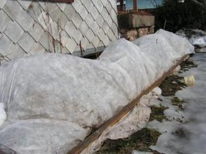 Фото укрытия Вейгелы агроволокном, vashsad.ua