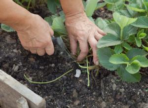 Как подкармливать клубнику весной фото