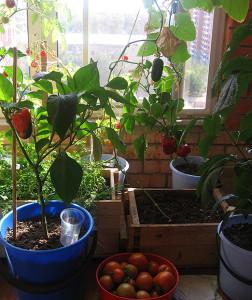 Как правильно выращивать помидор в домашних условиях 66
