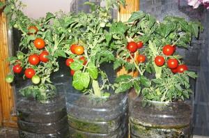 На фото - выращивание томатов на подоконнике в квартире, tutknow.ru