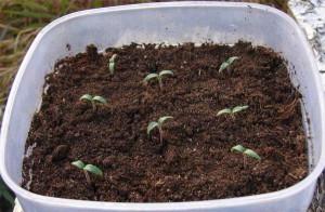 На фото - ростки помидор, tomat-pomidor.com