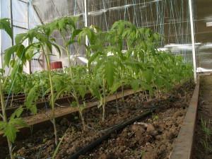 Фото выращивания рассады помидор в теплице, budmaydan.com