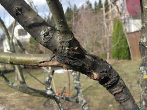 На фото - черный рак плодового дерева, doctor-forest.ru