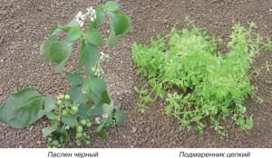 Фото однолетних сорняков, potatoveg.ru