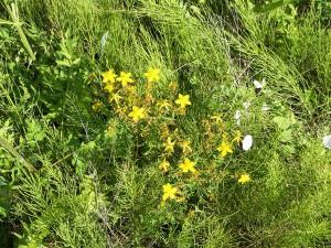 На фото - многолетние сорняки, zerno-ua.com