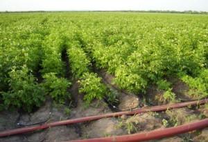 Фото полива картофеля по голландской технологии, aik.su