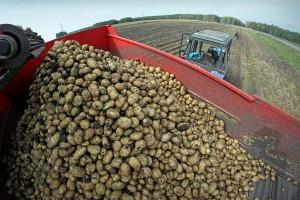 На фото - сбор урожая картофеля по голландской технологии, sdelanounas.ru