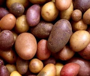 На фото - выбор сорта картофеля для выращивания по голландской технологии, atmagro.ru