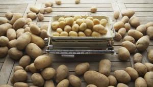 На фото - ранний сорт картофеля Ярла, supersadovod.ru