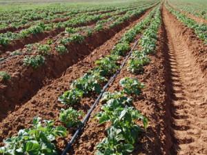 Фото посадки картофеля голландским методом, supersadovnik.net