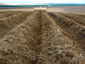 На фото - культивация почвы для выращивания картофеля по голландской технологии, pro-kartofel.info