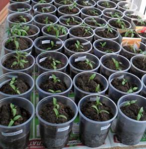 Фото стаканчиков с высаженными семенами помидоров, vkusniogorod.blogspot.com