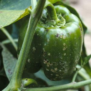 Фото серой гнили болгарского перца, ogorodsadovod.com