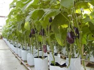 Фото выращивания баклажанов в теплице, banivl.ru
