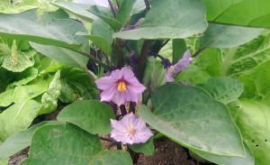 На фото - период цветения баклажанов, goldofparadise.eu