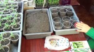 Фото высаживания семян огурцов на рассаду, youtube.com