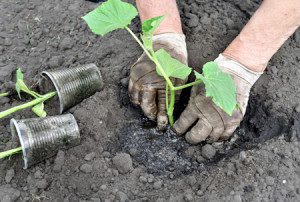 Фото высаживания рассады огурцов на грядки, 7ya.ru