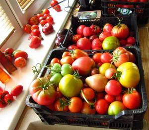 На фото - коробки с урожаем помидор, vseoteplicah.ru