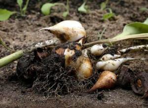 Урожай почти собран, готовим растения к зиме