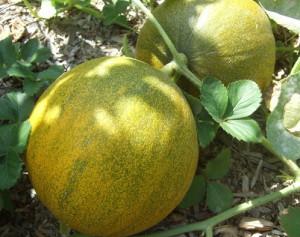 Фото выращивания дыни, moyadacha.net