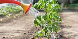 Как правильно поливать помидоры – урожай в засуху