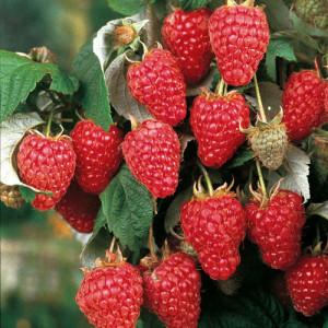 На фото - хороший урожай малины, sunnysidelocal.com