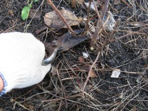 На фото - обрезка ремонтантной малины на зиму, vo-sadu-li-v-ogorode.ru