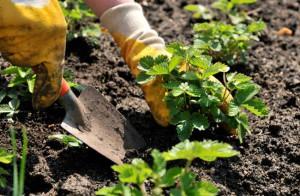 На фото - подготовка садовой клубники к зиме, sadogolik.ru