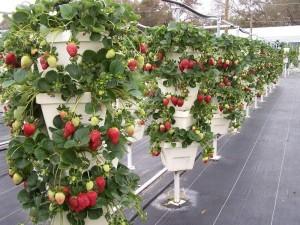 Фото выращивания клубники в горшочках, vk.com