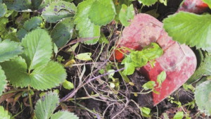 Фото удаления сорняков около клубники, cad-ogorod.ru