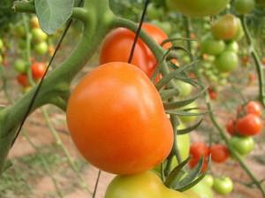 Подсказки растений – присматриваемся к томатам