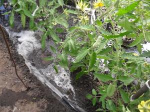 Подсказки растений – присматриваемся к томатам фото